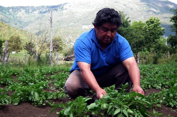 Familias pehuenches de Lonquimay desarrollan producción de papas contra-estación