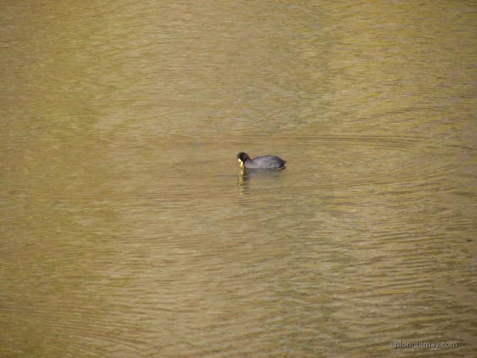 Estudiarán aves de Laguna San Pedro