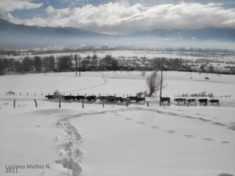 aa el ganado, ahorillas del rio lonquimay 2011