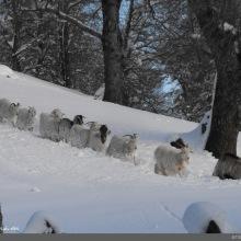 Los animales también cansados cargan además con la nieve que se les pega en el pelaje como bolitas de nieve.