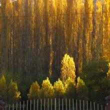 Alamos en otoño