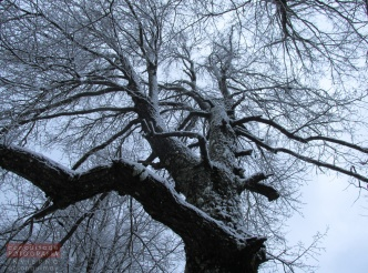 Árbol nativo Roble en primera nevada invierno 2015