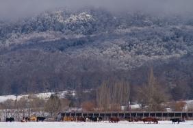 Si bien la nieve entregaba un paisaje precioso, las vaquitas no pensaban lo mismo porque ahora el pasto estaba escondido y helado... se imaginan si las vacas se pudieran alimentar de wisky, estarían con la media sonrisa.